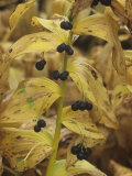 Solomon's Seal Berries in the Fall, Polygonatum Canaliculatum, North America Photographic Print by David Cavagnaro