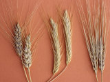 Cereal Grains, Left to Right, : Wheat, Rye, and Barley Photographic Print by Robert Calentine
