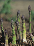 Young Asparagus Plants Growing, Asparagus Officinalis Photographic Print by David Cavagnaro