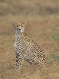Cheetah, Acinonyx Jubatus, Surveying the Landscape for Prey, East Africa Photographic Print by John & Barbara Gerlach