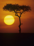 Twilight on the East African Savanna with a Flat-Topped Acacia Fotografiskt tryck av John & Barbara Gerlach