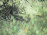 Leopard Protectively Colored in Savanna Vegetation, Panthera Pardus, East Africa Photographic Print by Joe McDonald