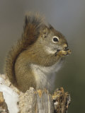 A Red Squirrel Eating Seeds, Tamiasciurus Hudsonicus, Eastern North America Photographic Print by John & Barbara Gerlach