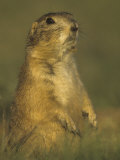 Black-Tailed Prairie Dog Sitting in its Grassland Habitat, Cynomys Ludovicianus, Western USA Photographic Print by Gary Randall