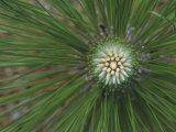 Needles and Terminal Buds of the Longleaf Pine, Pinus Palustris, Southeastern USA Photographic Print by David Sieren