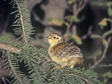 Spruce Grouse Chick (Dendragapus Canadensis), Alaska, USA Photographic Print by Rick & Nora Bowers