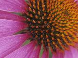 Purple Coneflower Flower Details, Echinacea Purpurea Photographic Print by David Sieren