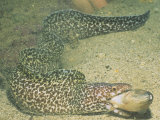 A Spotted Moray Swallowing Fish Prey., Gymnothorax Moringa, Caribbean Sea Fotografie-Druck von Hal Beral
