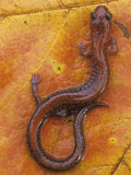 Red-Backed Salamander, Plethodon Cinereus, Eastern North America Photographic Print by Gary Meszaros