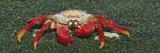 Sally Lightfoot Crab, Santiago Island, Galapagos Islands Fotografie-Druck von Arthur Morris