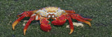 Sally Lightfoot Crab, Santiago Island, Galapagos Islands Photographic Print by Arthur Morris