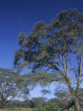 Yellow Fever Acacias, Acacia Xanthophloea, Nakuru, Kenya, Africa Photographic Print by Joe McDonald
