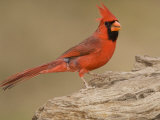 Male Northern Cardinal, Cardinalis Cardinalis, North America Photographic Print by John Cornell