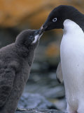 Adelie Penguin Adult Feeding its Chick, Pygoscelis Adeliae, South Orkney Islands Photographic Print by Hugh Rose