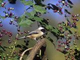 Carolina Chickadee (Poecile Carolinensis) in Wild Grapes, USA Photographic Print by Steve Maslowski