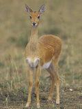 Oribi, Ourebia Ourebi, Masai Mara, Kenya, Africa Photographic Print by Joe McDonald