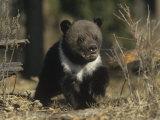 Grizzly Bear Cub, Ursus Arctos, Western North America Photographic Print by Joe McDonald