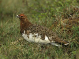 Male Rock Ptarmigan in its Summer Plumage (Lagopus Mutus), North America Photographie par Robert Barber