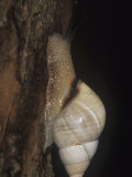 Florida Tree Snail (Liguus Fasciatus) Feeding on Algae and Fungi, Florida, USA Photographic Print by Rick Poley