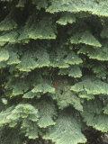 White Fir Tree Needles and Branching Pattern, Abies Concolor, North America Lámina fotográfica por David Cavagnaro