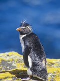 Rockhopper Penguin, Eudyptes Chrysocome, Falkland Islands Photographic Print by Gerald & Buff Corsi