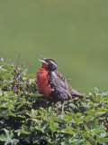 Long-Tailed Meadowlark Singing (Sturnella Loyca Falklandica), Falkland Islands Photographic Print by Gerald & Buff Corsi