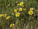 Smooth Tidy-Tips (Layia Chrysanthemoides) Is Native to and Endemic to California Fotografiskt tryck av Gerald & Buff Corsi