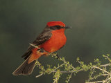 Vermilion Flycatcher (Pyrocephalus Rubinus), Arizona, USA Reproduction photographique par Rick & Nora Bowers