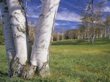 Grove of Paper or White Birch Trees, Betula Papyrifera, Woodstock, Vermont, USA Photographic Print by Adam Jones