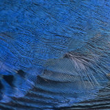 Close-Up of Male Indigo Bunting Feathers, Passerina Cyanea, North America Photographie par Joe McDonald