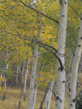 Quaking Aspens in the Fall, Populus Tremuloides, North America Photographic Print by Joe McDonald