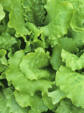 Lettuce Leaves of the Black-Seeded Simpson Variety (Lactuca Sativa) Photographic Print by Wally Eberhart