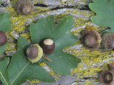 White Oak (Quercus Macrocarpa) Bark, Leaves, and Acorns Photographic Print by Wally Eberhart