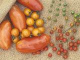 Super Marzano Variety of Teardrop and Spoon Tomatoes, Lycopersicon Esculentum Photographic Print by David Cavagnaro