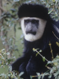 Black and White Colobus Monkey Face, Colobus Angolensis, Kenya, Africa Photographic Print by Joe McDonald