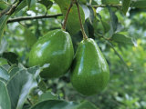 Avocado Fruits on the Tree (Persea Americana) Lmina fotogrfica por Norris Blake