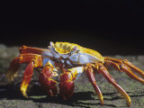 Sally Lightfoot Crab, Grapsus Grapsus, Galapagos Islands Photographic Print by Gerald & Buff Corsi