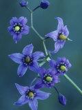 Bittersweet Nightshade Flowers, Solanum Dulcamara, North America Photographic Print by John & Barbara Gerlach