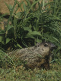 Woodchuck or Groundhog Vocalizing, Marmota Monax, North America Photographic Print by Joe McDonald