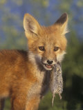 Red Fox Pup, Vulpes Vulpes, with a Captured Vole, Microtus, in its Mouth, North America Photographic Print by Arthur Morris