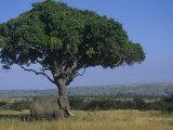 African Elephant on the Savanna, Loxodonta Africana, East Africa Photographic Print by John & Barbara Gerlach