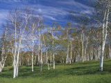 Grove of Paper Birch, Betula Papyrifera, Woodstock, Vermont, USA Photographic Print by Adam Jones