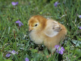 Rhode Island Red Chick, Gallus Domesticus, USA Lmina fotogrfica por Gay Bumgarner