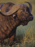 African Buffalo Head, Syncerus Caffer, Masai Mara Game Reserve, Kenya, Africa Photographic Print by Joe McDonald