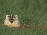 American Badger, Taxidea Taxus, Snarling at its Burrow Opening, North America Photographic Print by Joe McDonald