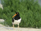 American Oystercatcher, Haematopus Palliatus, North America Photographic Print by Arthur Morris