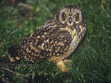 Short-Eared Owl, Otus Flammeus Sanfordi, Falkland Islands Photographic Print by Joe McDonald
