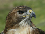Red-Tailed Hawk, Buteo Jamaicensis, North America Photographie par Arthur Morris