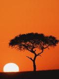 Accacia Tree Silhouetted at Sunrise, Masai Mara Game Reserve, Kenya Fotografie-Druck von Adam Jones