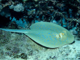 Blue-Spotted Ribbontail Ray (Taeniura Lymma), Red Sea Photographic Print by Reinhard Dirscherl